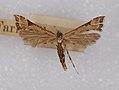 Platyptilia farfarellus specimen.jpg