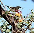 Plicosepalus sagittifolius Makueni County 5.jpg