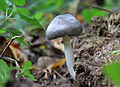 Pluteus salicinus, Willow Shield, UK.jpg