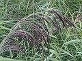 Poales - Phragmites australis - UK 4.jpg