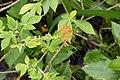Podandrogyne mathewsii = Podandrogyne brachycarpa (Cleomaceae) (29416022540).jpg