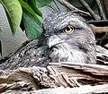 Podargus strigoides - Zoo Frankfurt 1.jpg