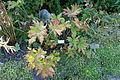 Podophyllum hexandrum - Bergianska trädgården - Stockholm, Sweden - DSC00531.JPG