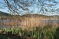 Poertschach Halbinselpromenade Schilfrohr mit Erle am Seeufer 18042015 2129.jpg