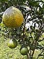 Pohon jeruk 3.jpg