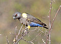 Poicephalus rueppellii -Hobatere Lodge, Kamanjab, Namibia-8.jpg