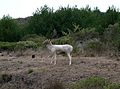 Point Reyes National Seashore - Fallow Deer (Dama dama) - Flickr - Jay Sturner.jpg