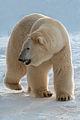 Polar bear Eric (4204060268) (2).jpg