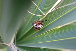 <i>Polistes dorsalis</i> Species of wasp
