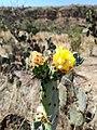 Pollination - Melissodes sp. and Opuntia robusta.jpg