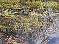 Polygonum amphibium (5006017153).jpg
