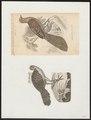 Polyplectron bicalcaratum - 1700-1880 - Print - Iconographia Zoologica - Special Collections University of Amsterdam - UBA01 IZ16900179.tif