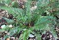 Polystichum neolobatum 1.jpg