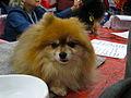 Pomeranian dog (8109910639).jpg