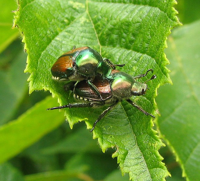 Ficheiro:Popillia japonica - japanese beetle - desc-mating pair on filbert tree leaf.jpg