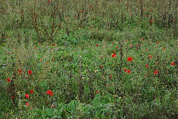 English: Poppies on Remembrance Sunday Poppies...