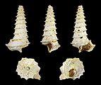 Potamides tricarinatus crispiacensis 01.JPG