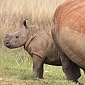 Price of poaching - rhinos are better de-horned than dead (35735682534).jpg