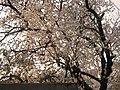 Primavera...fiori e profumi - panoramio.jpg