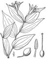 Prosartes lanuginosa (as Disporum lanuginosum) BB-1913.png