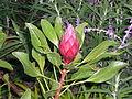 Protea bud.jpg