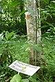 Prunus africana à São Tomé (1).jpg