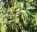 Prunus padus in La Jaysinia (3).jpg