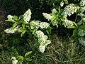 Prunus padus subsp. padus sl8.jpg