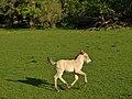 Przewalski's colt running.jpg