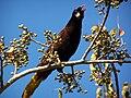 Psarocolius montezuma -Guatemala -singing-8.jpg