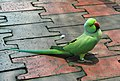 Psittacula krameri -Kuala Lumpur Bird Park, Malaysia-8a.jpg