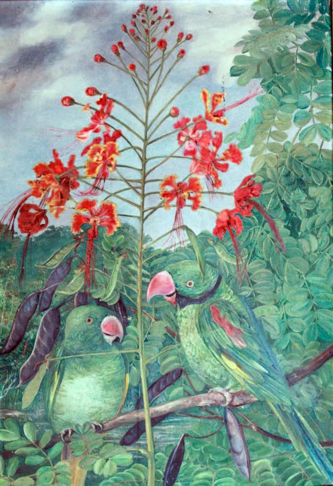 Psittacula wardi by Marianne North