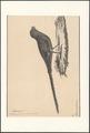 Psittacus formosus - 1830 - Print - Iconographia Zoologica - Special Collections University of Amsterdam - UBA01 IZA1000587.tif