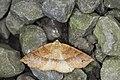Psyra spurcataria (42654893735).jpg