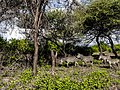 Pundamilia (Zebras) at Manyara National Park.jpg