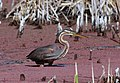 Purple Heron, Ardea purpurea at Marievale Nature Reserve, Gauteng, South Africa (21431610922).jpg