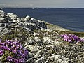 Purple sax strait bergs labrador for wiki.jpg