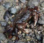 Purple shore crab on Orcas.JPG