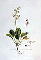 Pyrola rotundifolia — Flora Batava — Volume v3.jpg