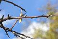 Pyrus spinosa 000276080O.jpg