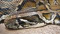 Python molurus bivittatus head.jpg