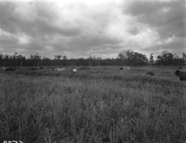 Queensland State Archives 1868 Cattle grazing Woongoolba Gold Coast January 1956.png
