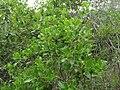 Quercus coccifera (8739836486).jpg