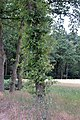 Quercus robur water sprouts (04).jpg
