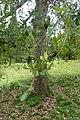 Quercus rugosa kz04.jpg
