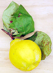photograph of a single, bright yellow quince