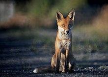 Fox Cunning In Fangbreaker S Island