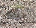 RAT, COTTON (Sigmodon hispidus) (3-24-11) paton's, scc, az -01 (5556493727).jpg