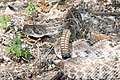 RATTLESNAKE, WESTERN DIAMOND-BACK (Crotalus atrax) (8-27-13) sonoita creek state natural area, scc, az -01 (9611934918).jpg