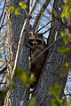 Raccoon (Procyon lotor) - Kitchener, Ontario 02.jpg